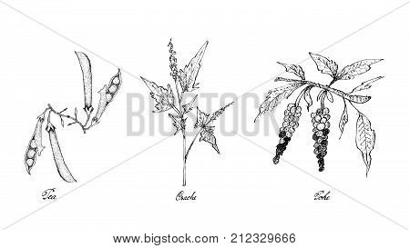 Hand Drawn Sketch Delicious Fresh Green Pea, Orache and Poke Plants Isolated on White Background.