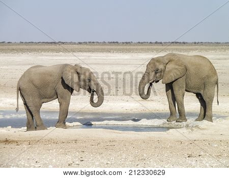 sunny arid savannah scenery including two african bush elephants drinking at a water hole seen in Namibia