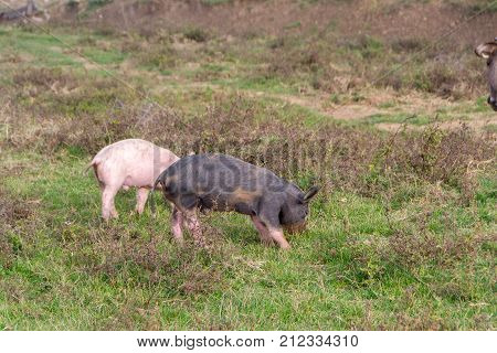 Mangulitsa pig and her pigs. Species originated in the middle of the 19th century by mating domestic and wild boar