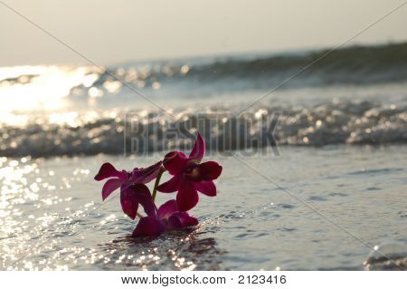 Pink Dendrobium Orchid In The Surf