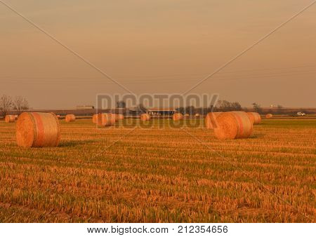 cylindrical bales of hay called round bales packed in colored nets /expanse of hay cylindrical bales in a farmland