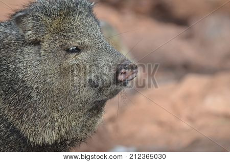 Close up photo of a wild javelina boar