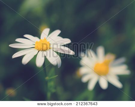 Close up image of white petal and yellow pollen daisy flower on soft toned with copy space Focus with pollen Soft and selective focus