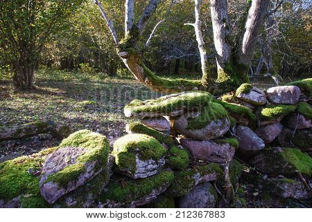 Old moss covered stone wall in a fall season colored forest