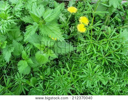 Interesting abstract floral background of three plants geometrically divided into areas. Galium aparine nettle and dandelion occupy three homogeneous fields in the photo