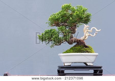 Bonsai pine tree in a pot against a gray background