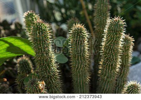 hoodia gordonii cactus plant succulent suppressant health