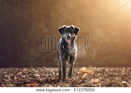 An australian german shepherd mixed dog on a meadow during autumn sunset