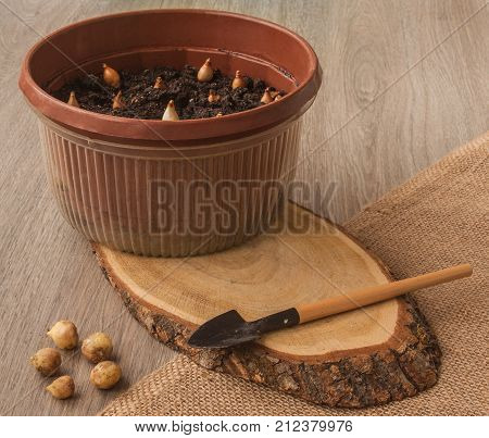 Bulbs of snowdrops in a pot and hyacinthoides on a wooden table next to a shovel