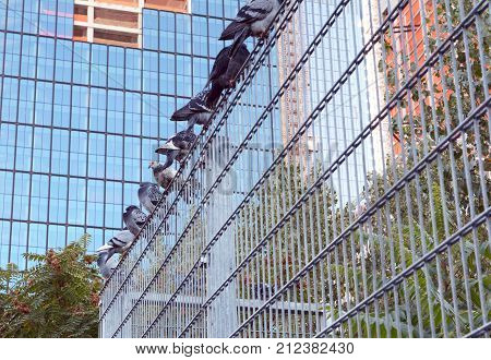 Row of nine pigeons roosting on a metal security fence in Manhattan New York City. One bird remains alert and awake while others sleep.