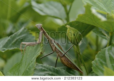 A Preying Mantis (order Mantodea) inside the leaves of a bush, shown in left profile, with it's head turned toward the viewer.