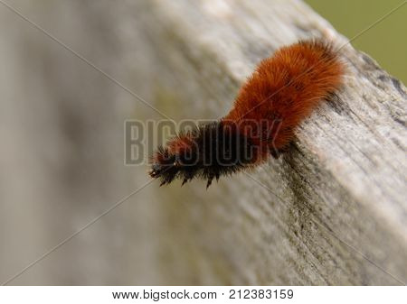 A Woolly Bear (Pyrrharctia Isabella) caterpillar, a larva of the Isabella Tiger Moth, is also known as a Woolly worm, and Fuzzy Worm.  Folklore says the stripes of the Woolly Bear can predict winter weather.