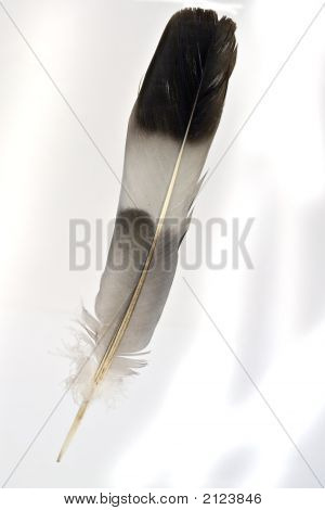 A feather suitable for use as a quill pen poster