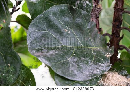 ficus lyrata moraceae plant tree with big leaf from tropical africa rubber tree