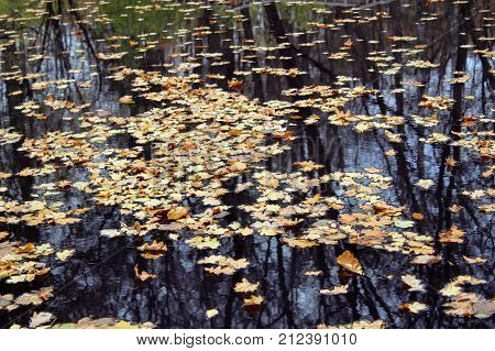 Fallen yellow leaves float in a pond in the estate of Leo Tolstoy in Yasnaya Polyana.