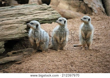 Three Meerkats In A Row