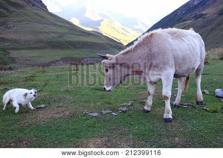 the white dog barks at a cow