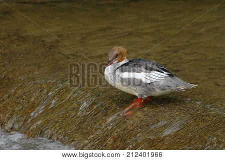 Common merganser female standing in a river