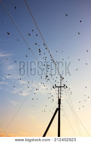 Flock of birds. Silhouette of power lines under morning sky. Flying swifts at sunrise