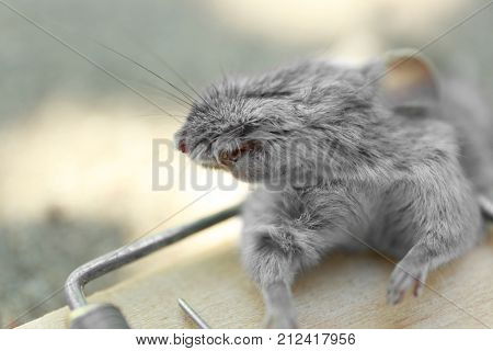 Dead mouse caught in snap trap outdoors, closeup