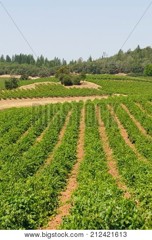vineyard in the foothills of the Sierra Nevadas, near Plymouth and Fiddletown, California