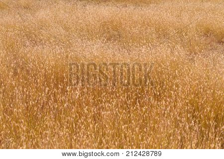 Field with unusual golden plants