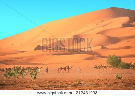 Caravan of camels in Sahara desert, Morocco. Driver-berber with three camels dromedary and sand dunes on blue sky background