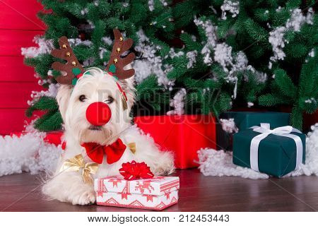 Decorated west highland white terrier dog as symbol of 2018 New Year with red bow tie decorative bows christmas deer horn and clown red nose and christmas pine tree with gifts on background