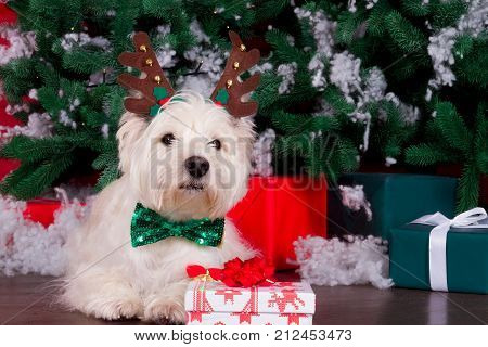Decorated west highland white terrier dog as symbol of 2018 New Year with green bow tie decorative bows and christmas deer horn and christmas pine tree with gifts on background