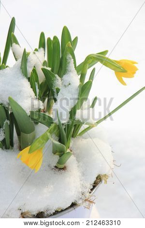 Small flowering daffodils in the snow early spring
