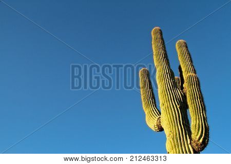 A saguaro cactus with blue sky as copy space.