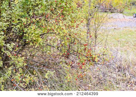 Hips Bush With Ripe Berries. Berries Of A Dogrose On A Bush. Fruits Of Wild Roses. Thorny Dogrose. R
