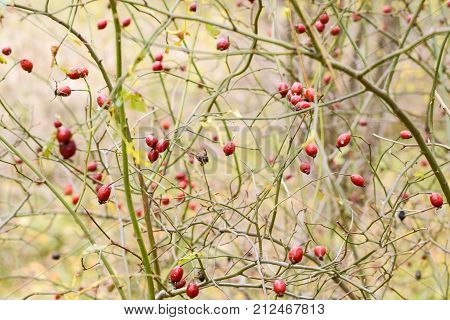 Red Ripe Briar Berries, Macro Photo. Hips Bush With Ripe Berries. Berries Of A Dogrose On A Bush. Fr