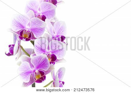 A photo of tender orchid branch blossoming with purple flowers isolated on white background. Phalaenopsis orchid flower blooming twig isolated on white. Place for text copyspace. Selective soft focus