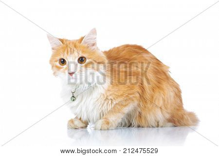 curious orange cat laying down on white background