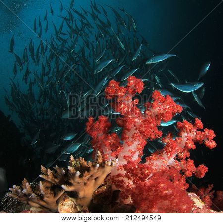 Red Soft Coral and underwater Tuna fish