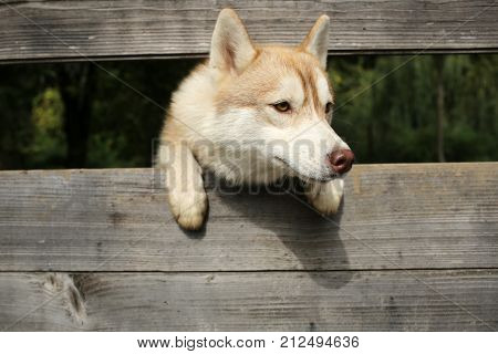 Year of dog holiday celebration. New year christmas xmas. Zoo shelter farm or captivity. Pet and animal Siberian husky dog year. Husky or wolf at wooden background copy space.