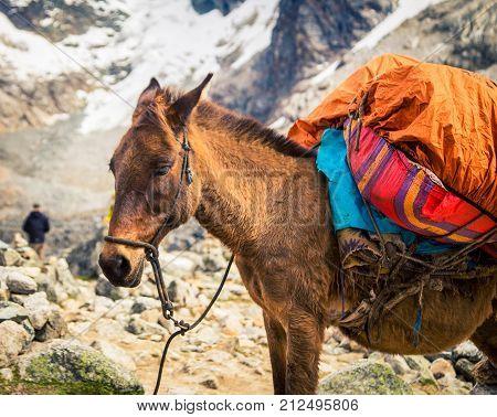 Pack animal on the Salkantay trek in Peru