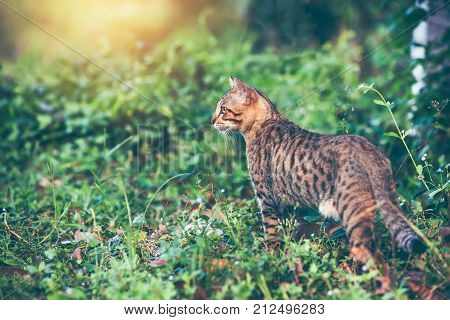 Pretty bengal cat hunting and gaze on something in forest. Outdoor at daytime with bright sunlight. Animal life on nature green background.