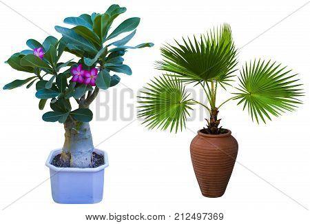 Adenium. Adenium flower. Desert Rose. tree adenium isolated on white background. A palm tree in a flowerpot. Pam tree (Livistona Rotundifolia) in flowerpot isolated on white.