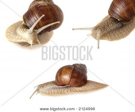 family of three garden snail isolated on white background poster
