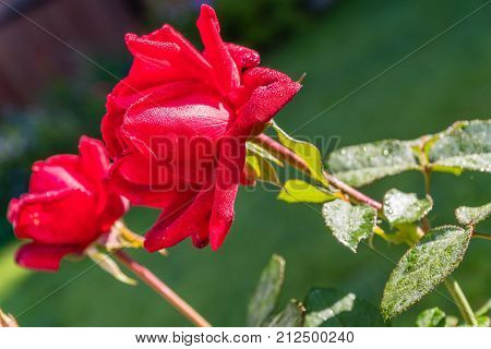 Beautiful Red Rose with Morning Dew Drops