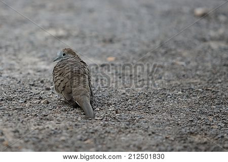 Spotted dove ( Scientific name Spilopelia chinensis ) on the ground. Selective focus and shallow depth of field.