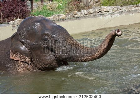 Asian elephant (Elephas maximus) bathing.