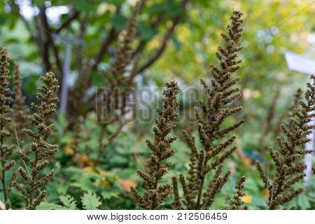 flower bud in garden of astilbe chinensis saxifagaceae from china in garden