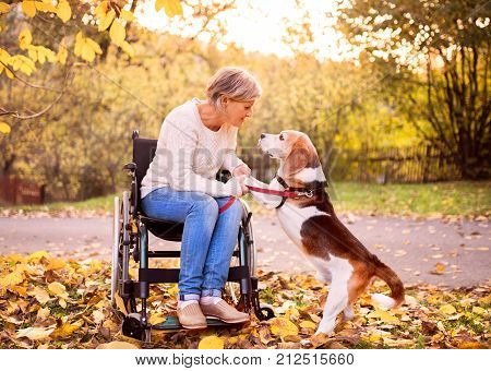 A senior woman in wheelchair with dog in autumn nature. Senior woman holding paws of the dog.
