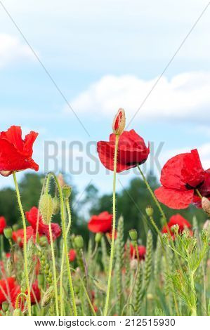 Delicate and fragile red poppy flowers on green summer field. Papaver bracteatum. Vibrant colored outdoors vertical image.