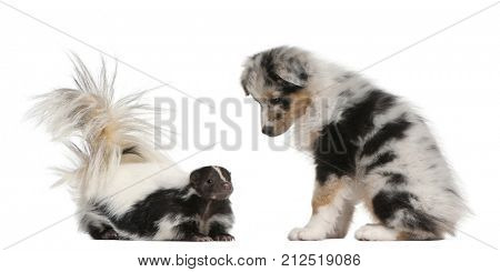 Blue Merle Australian Shepherd puppy, 10 weeks old, looking at Striped Skunk, Mephitis Mephitis, 5 years old, sitting in front of white background