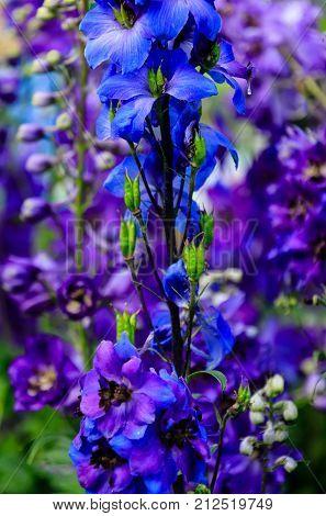 Delphinium elatum is a species of Delphinium known by the common name alpine delphinium or candle larkspur.