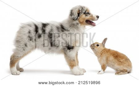 Blue Merle Australian Shepherd puppy playing with rabbit, sitting in front of white background